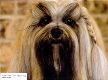 Lhasa Apso Grooming Check Out How To Groom Your Lhasa Apso