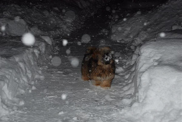 lhasa apso luna from norway in the snow