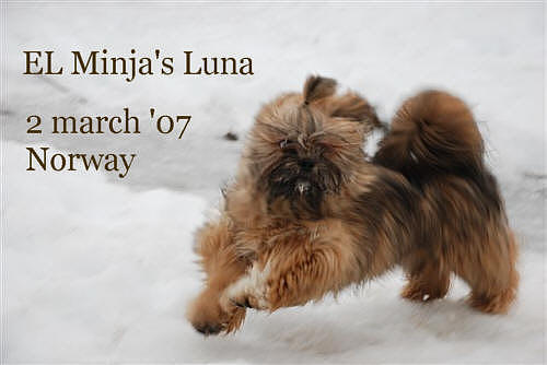 lhasa apso EL Minja's Luna in the snow, Norway