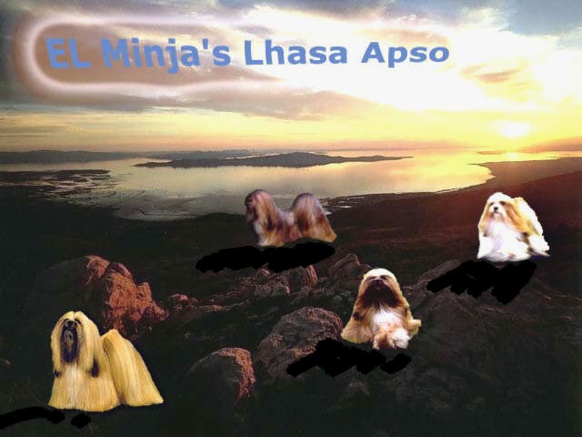 El Minja dog kennels and Lhasa Apso breeder making-off picture check our puppy and other pictures