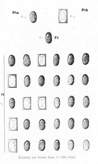 bonen1 copy, Johann Gregor Mendelin hayatı ingilizce