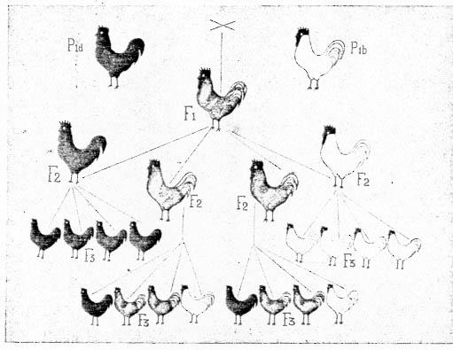 kippen, Johann Gregor Mendelin hayatı ingilizce