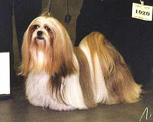 lhasa-apso Champion EL Minja's Dream On