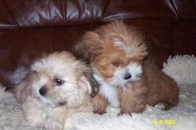 lhasa apso pups el minja's good as gold