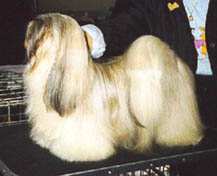 Nikitya one of my first Lhasa Apso's
