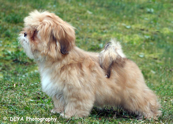 lhasa apso orchidee from crotia in the sun