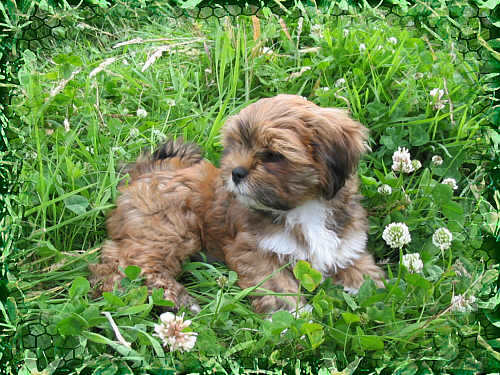 lhasa apso puppy paris