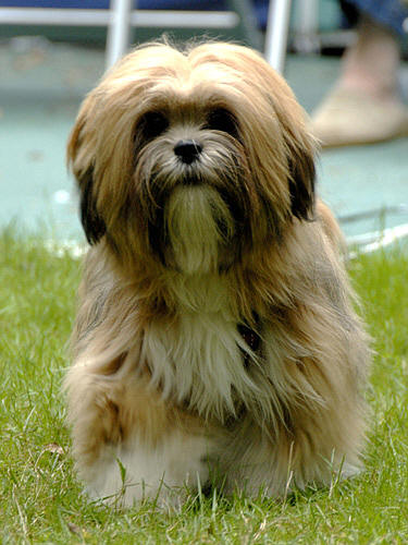 Lhasa Apso 2 Years Old 2 years old august 2008