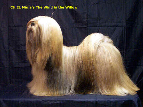 Lhasa Apso willow